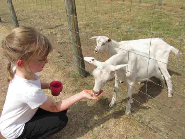 Feeding goats by hand