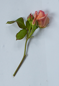 Commemorative rose
